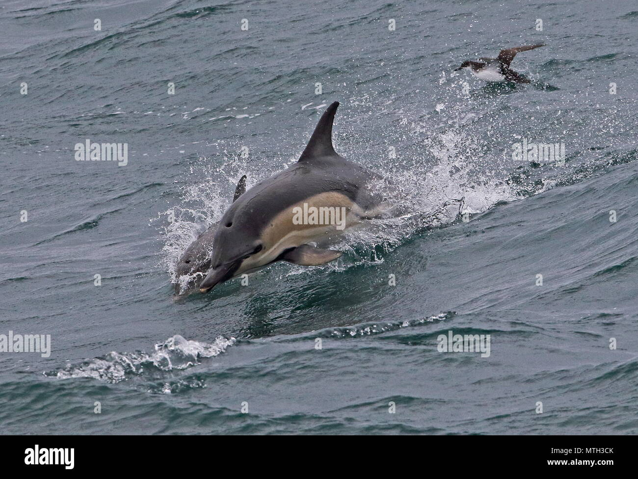 Short-beaked Common Dolphin (Delphinus delphis delphis) adult jumping out of water  Bay of Biscay, Atlantic Ocean        May - Stock Image