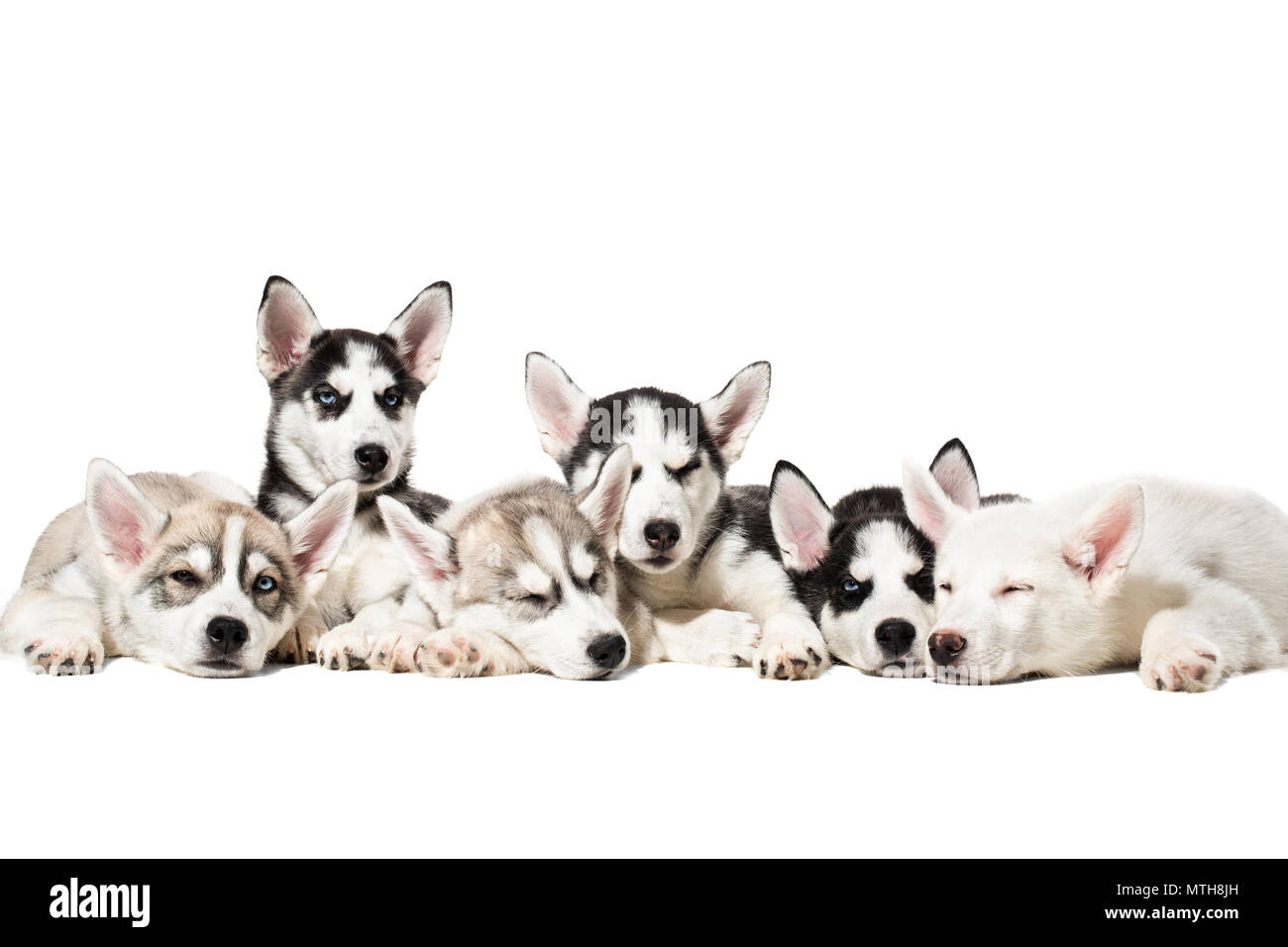 Cute Siberian husky puppies on white background. - Stock Image