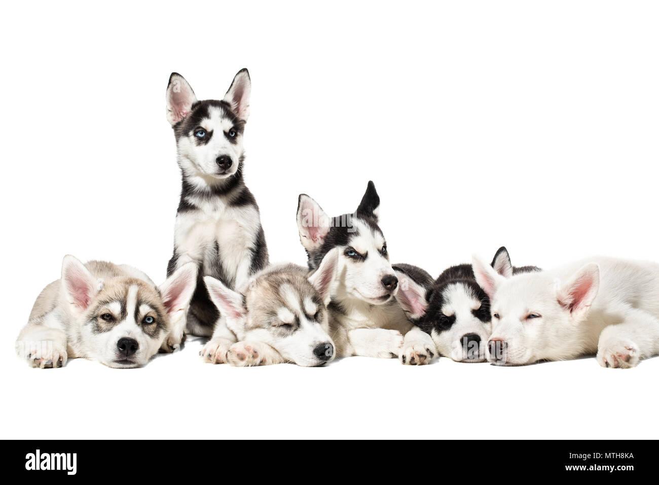 Cute Siberian husky puppies on white background. Stock Photo
