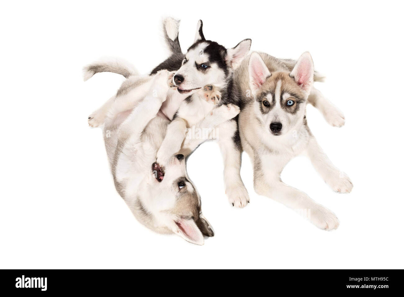 Group of happy siberian husky puppies on white background - Stock Image