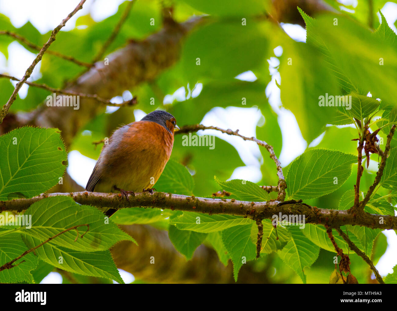 Beautiful photos of Finch Bird in its natural habitat! Visit my page to see other captures like this! - Stock Image