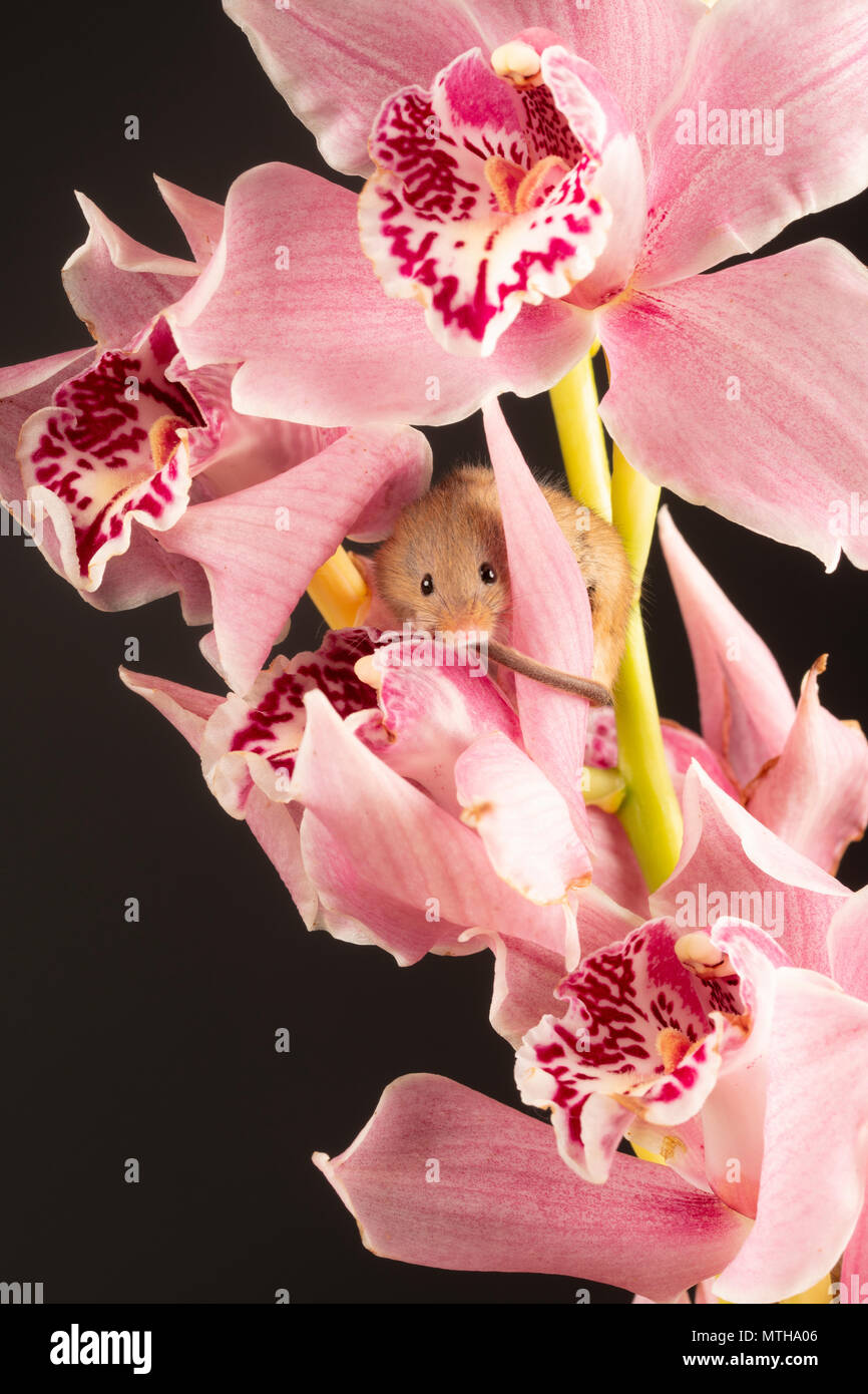 a tiny harvest mouse peeping through a pink orchid in a studio setting - Stock Image