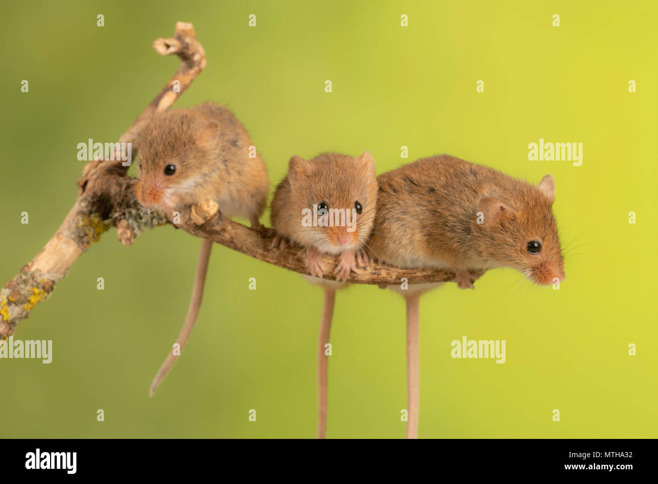 Trio of cure harvest mice sitting on a branch - Stock Image