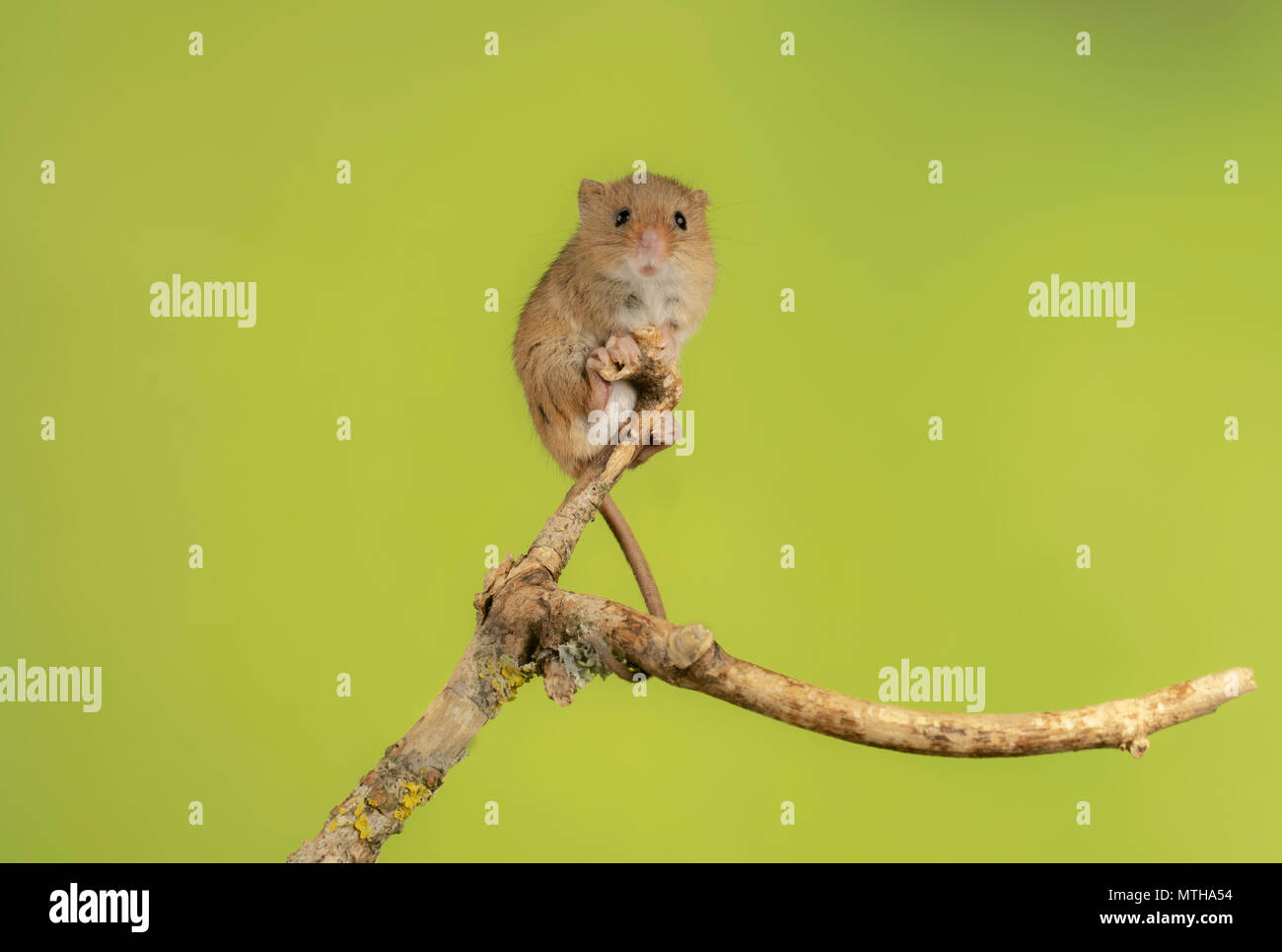 harvest mouse climbing in a studio set up Stock Photo