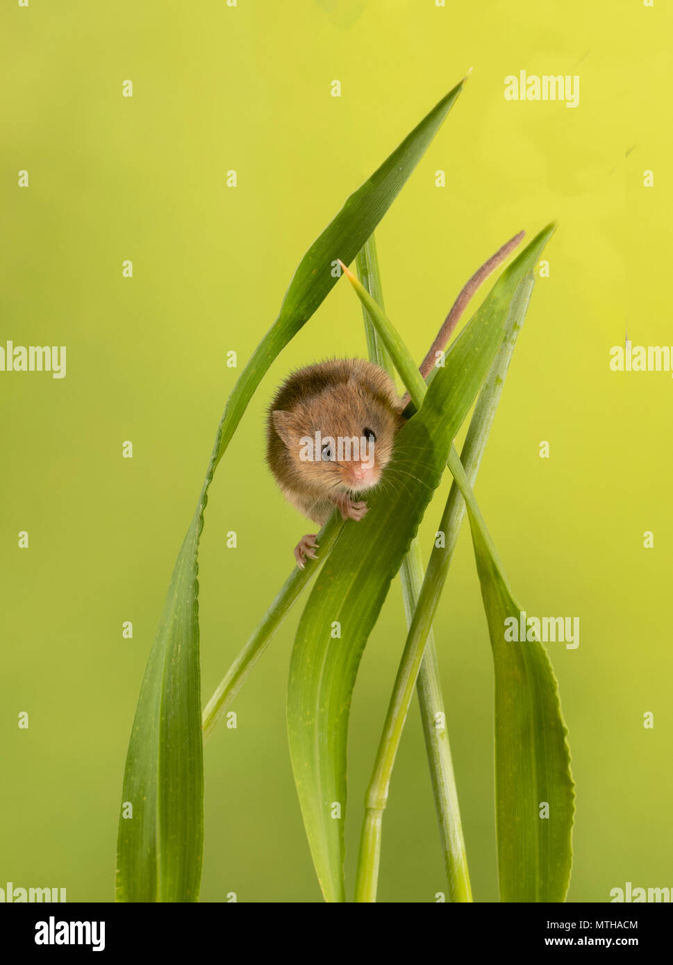 Harvest mouse climbing on grass blades - Stock Image