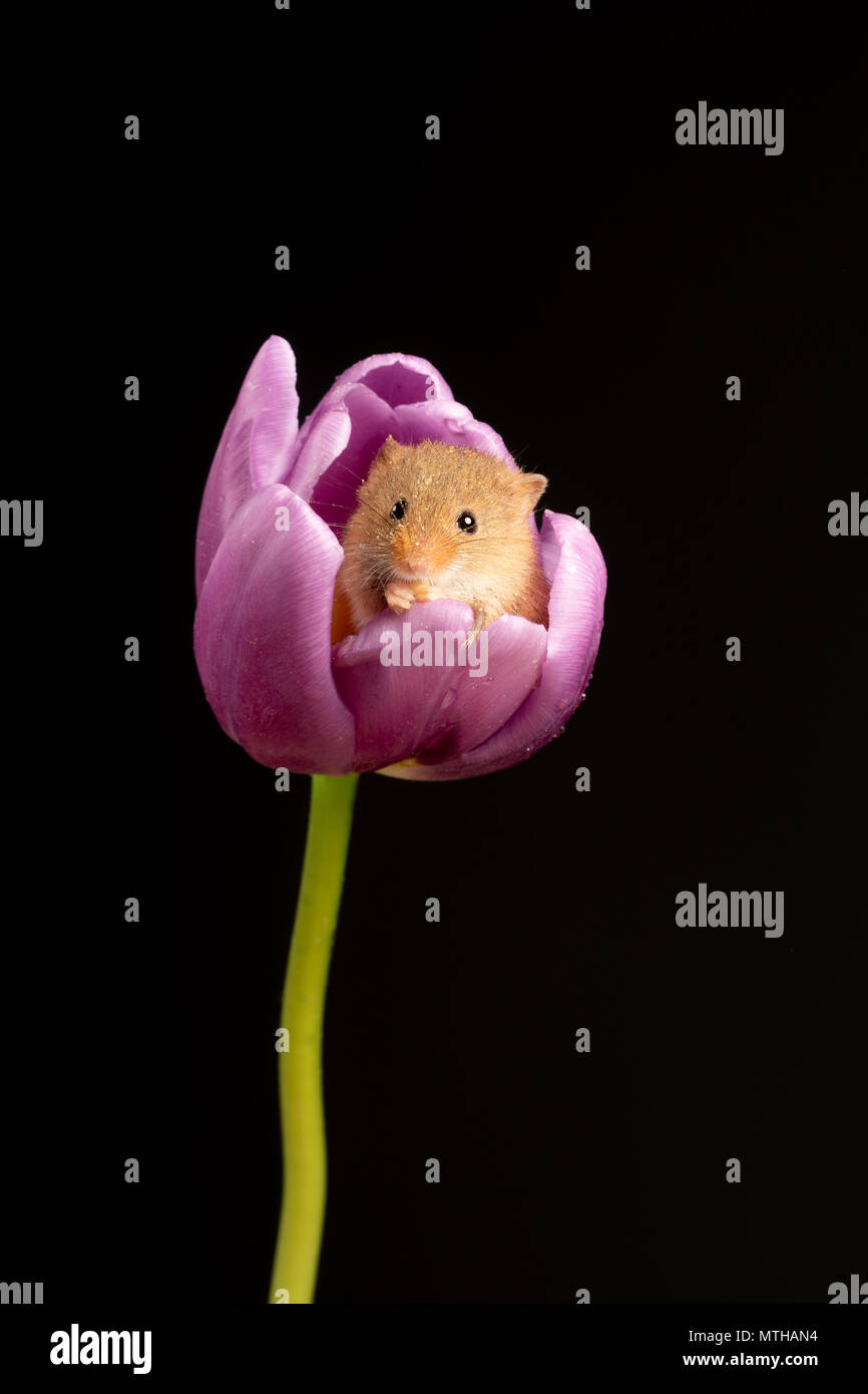 Harvest mouse portrait sitting in a tulip - Stock Image