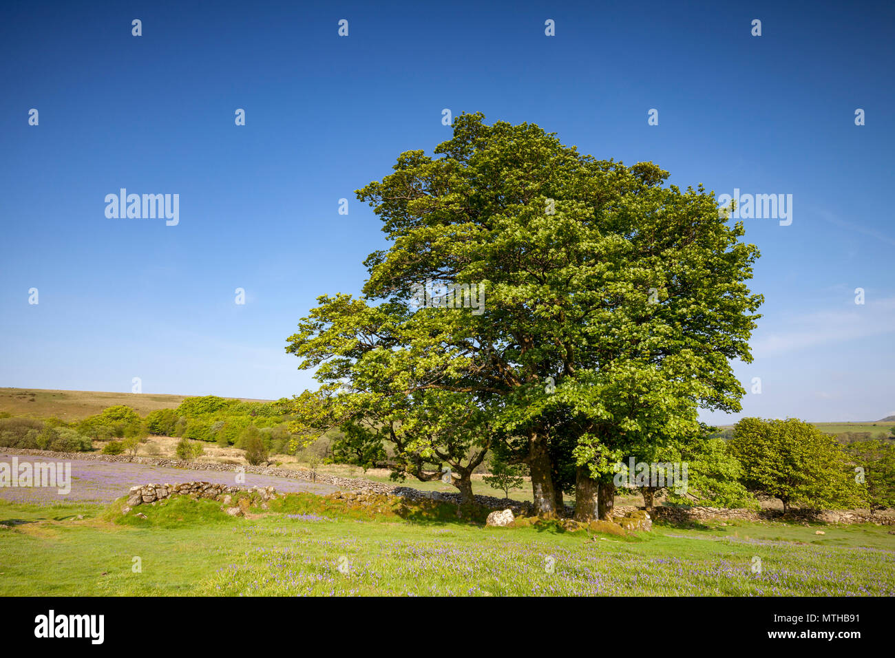 large trees at Emsworthy Mire on Dartmoor National Park on a sunny morning with blue sky. - Stock Image