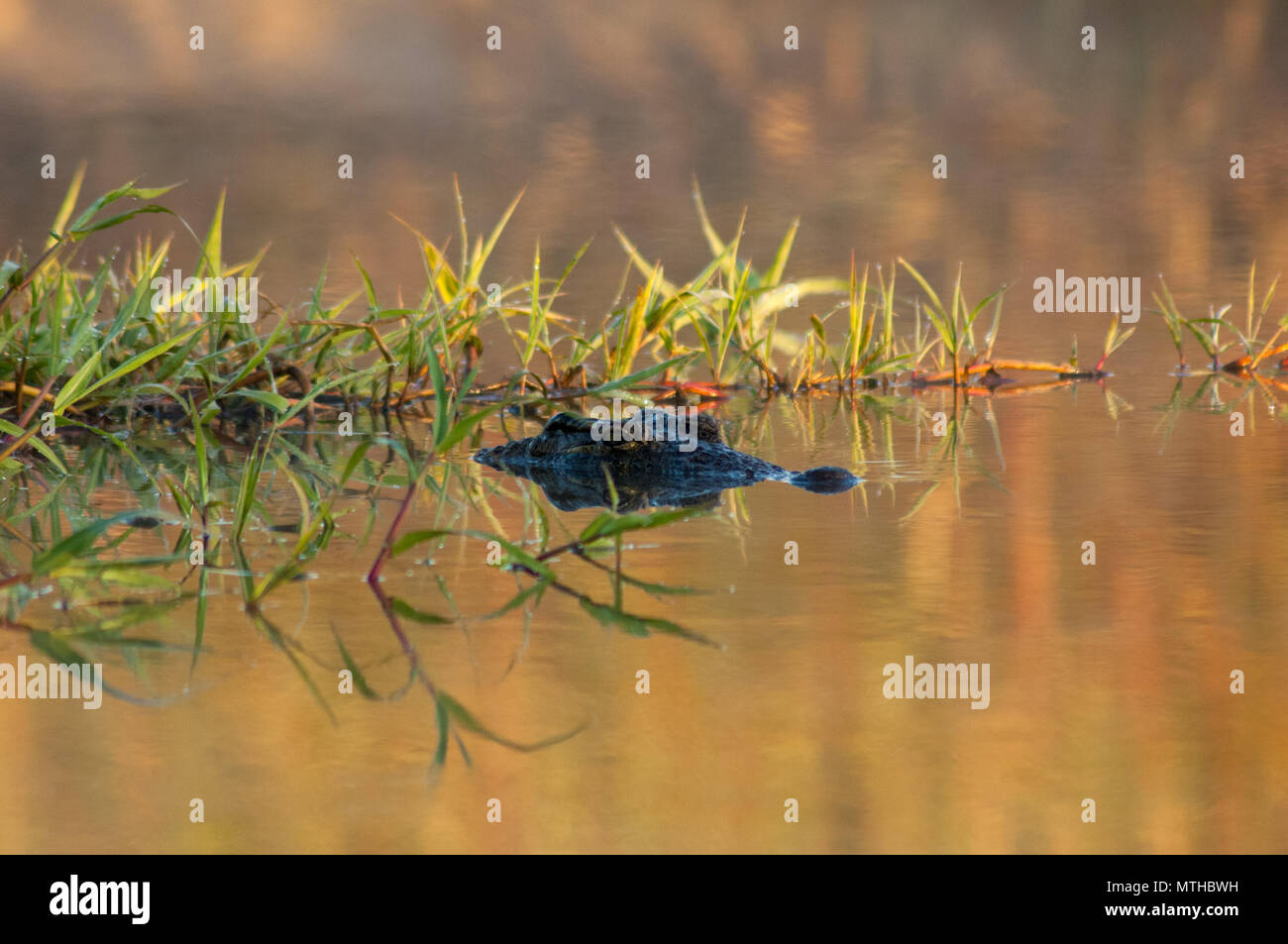A Crocodile stays cool in a river with its eyes barely visible above the waterline - Stock Photo