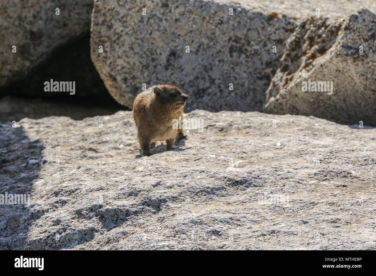 Rock hyrax on granite boulder at boulder beach on the garden route, south africa - Stock Image