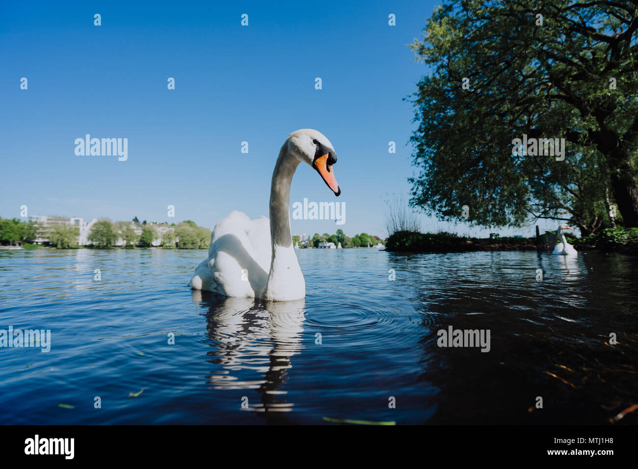 Grace swan swimming on Alster Lake in Hamburg on a sunny day - Stock Image