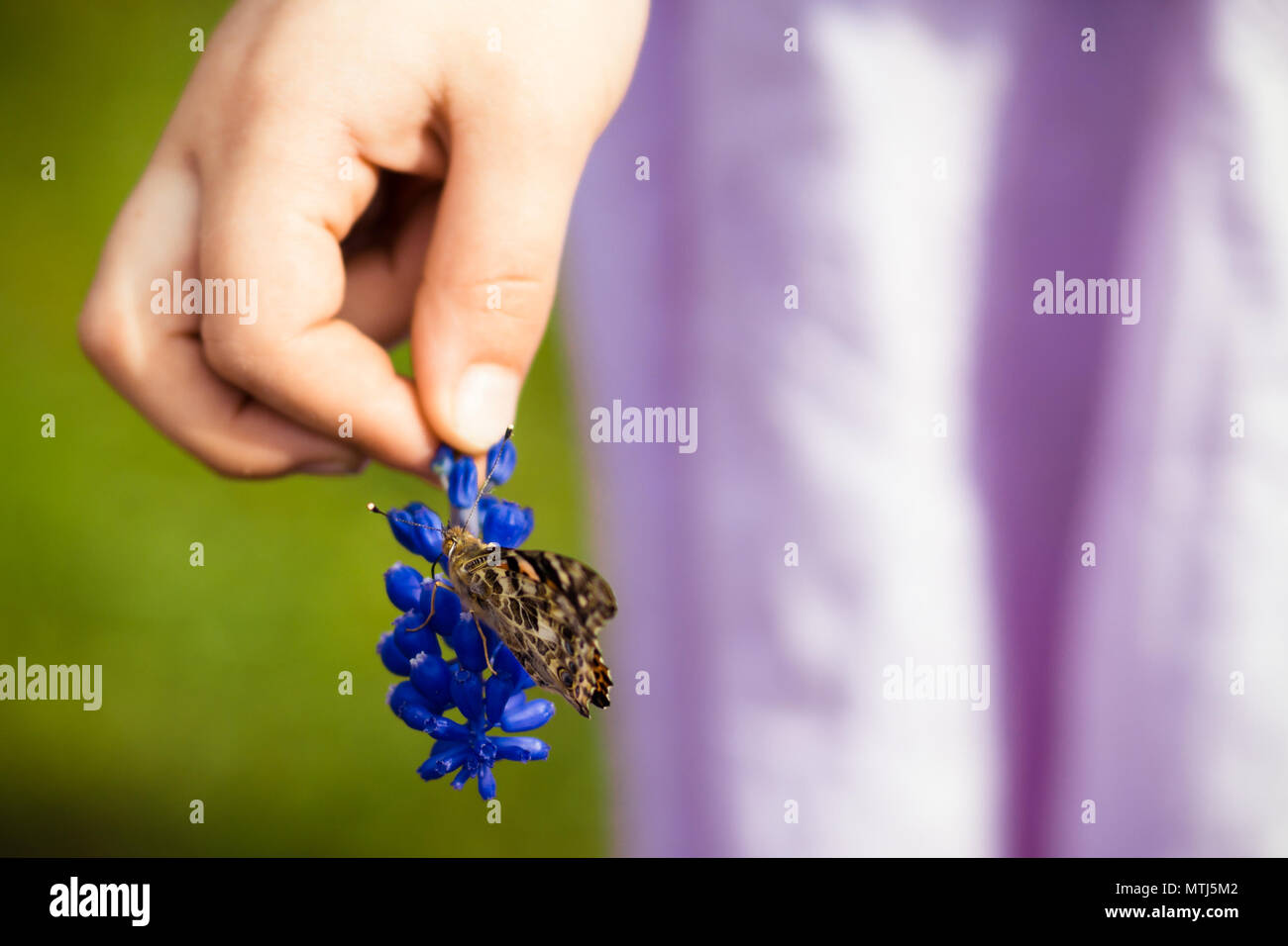 Girl Child holding Flower (Grape Hyacinth) with Painted Lady or Cosmopolitan Butterfly Feeding on Nectar with Wings Closed - Stock Image