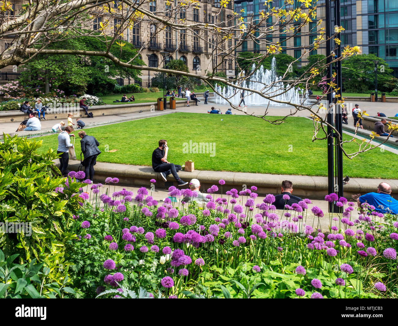 Alliums in flower at the Peace Gardens in Sheffield city centre South Yorkshire England - Stock Image