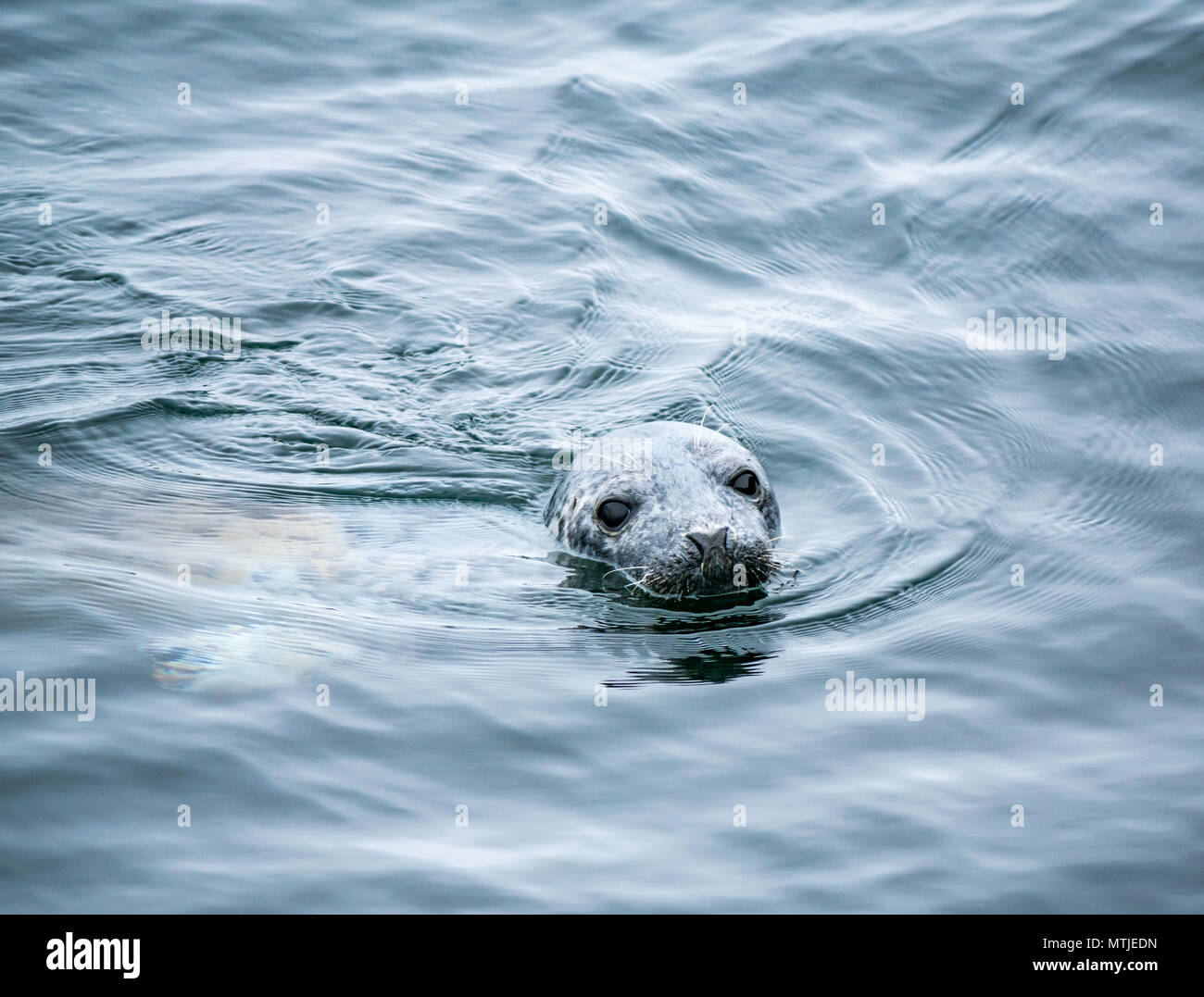24 May 2018. Firth of Forth, Scotland, UK. Close up of a curious grey seal swimming in the water - Stock Image