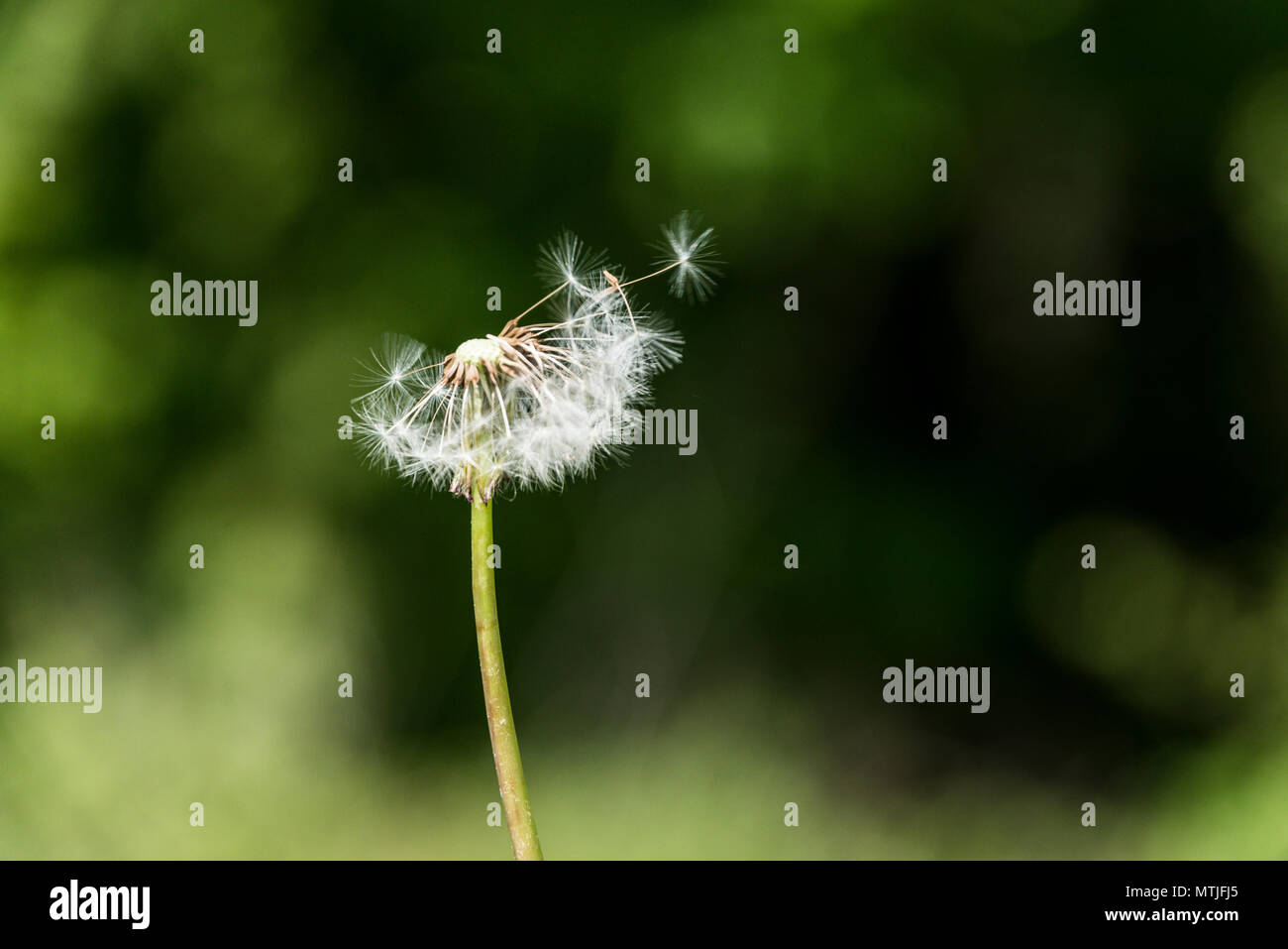 An incomplete dandelion clock (Taraxacum officinale) - Stock Image