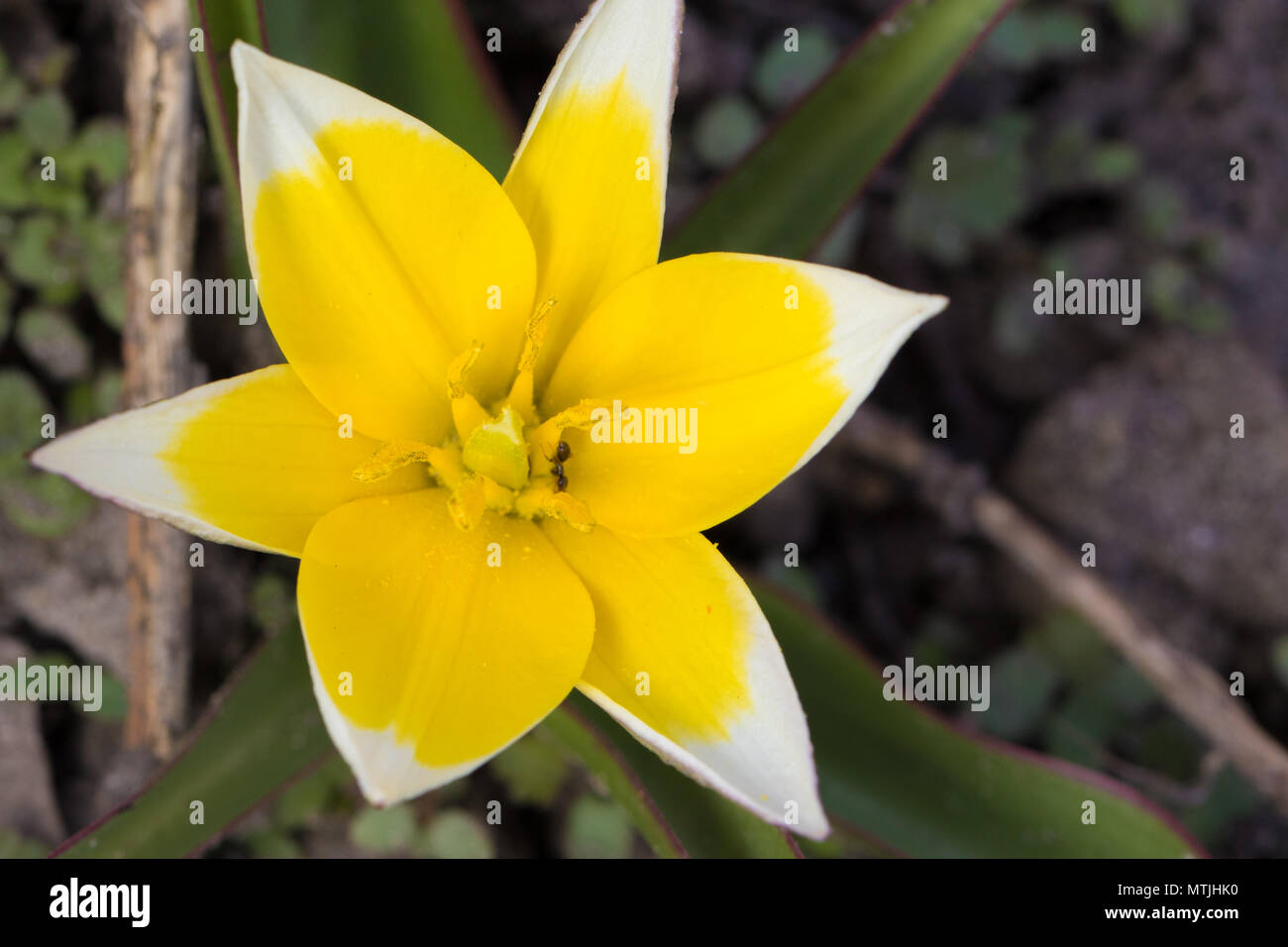 Gorgeous Isolated Wild Yellow And White Tulip Closeup Blooming In