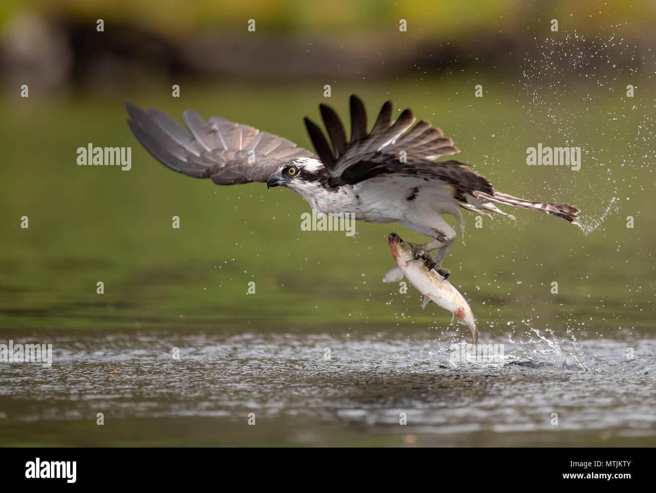 Osprey Fishing Stock Photo