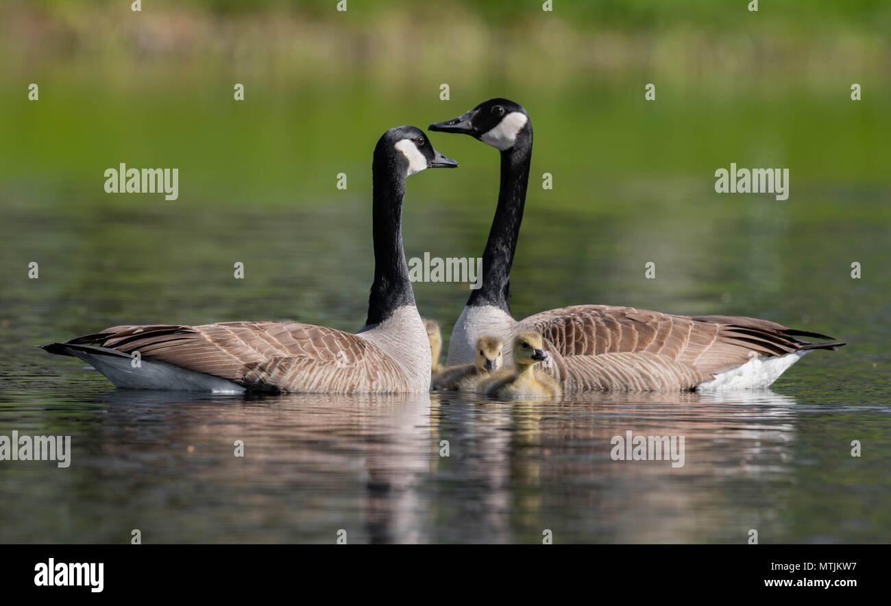 Canada Goose - Stock Image