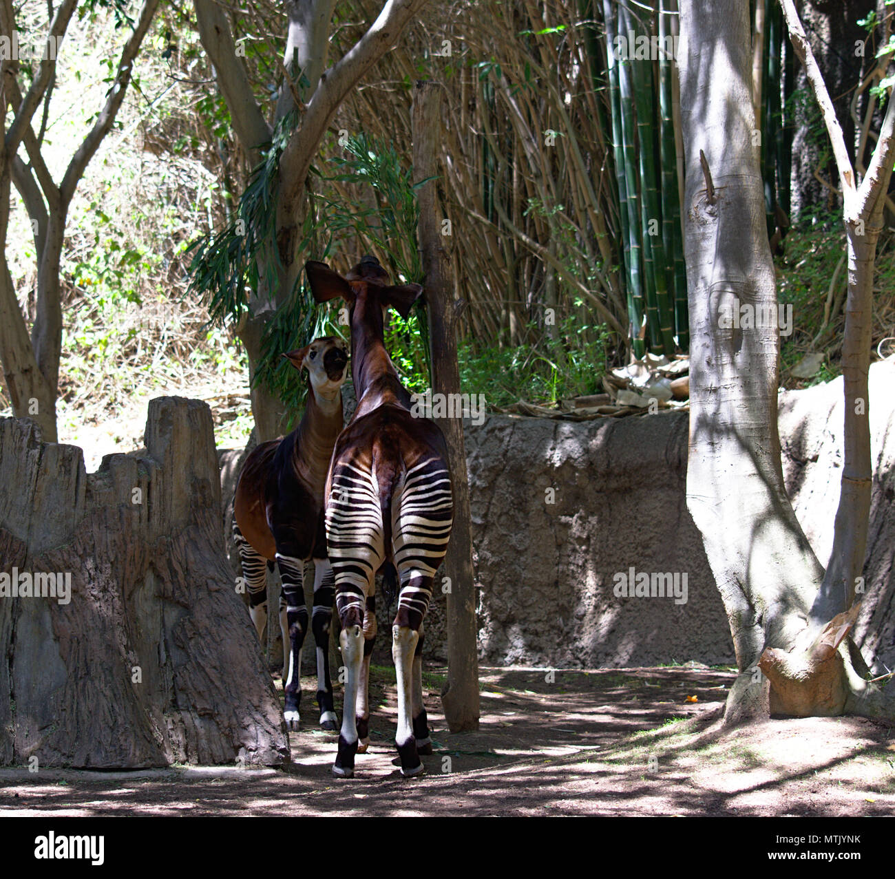 Two Okapi facing each other - Stock Image