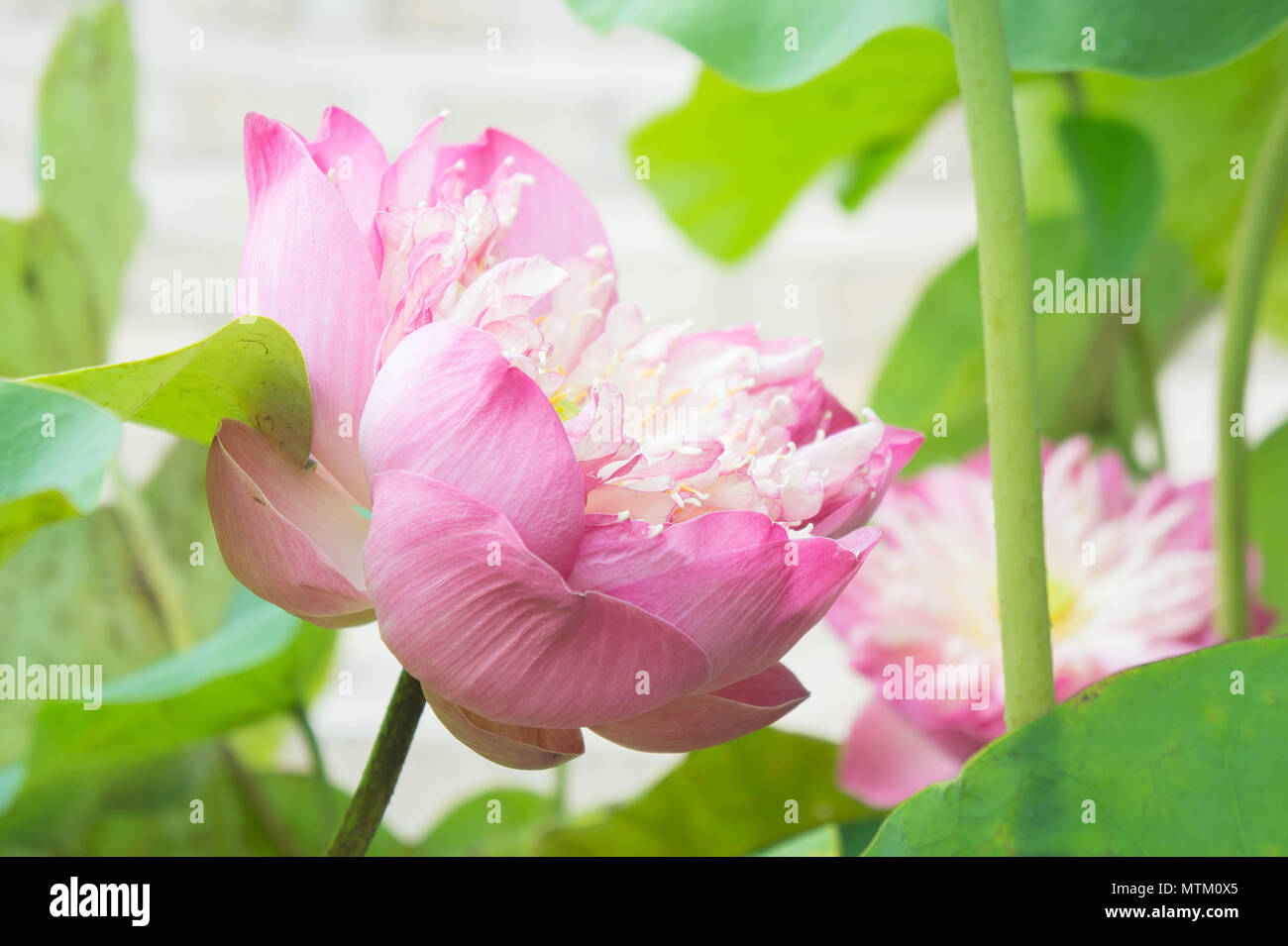 Natural Lotus Flower On Holy Day Lotus Or Waterlilly Stock Photo