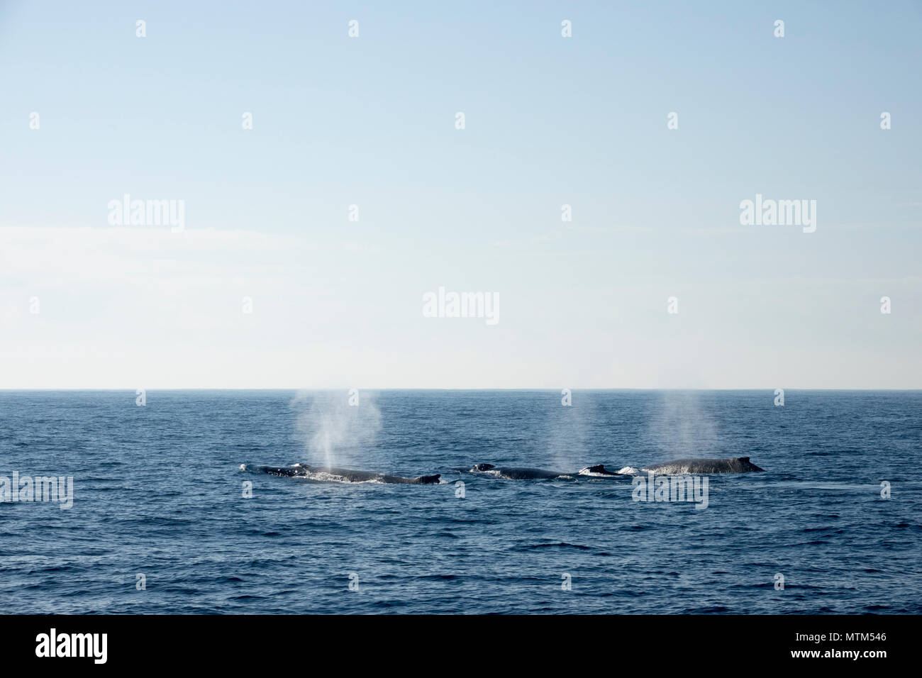 Competitive pod of Humpback whales in the Tasman Sea, near Sydney Heads, New South Wales - Stock Image