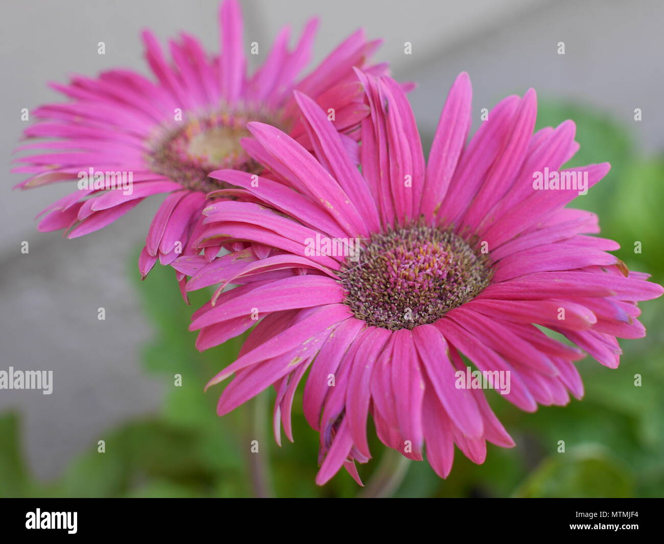 Giant Pink Daisies Stock Photo 187309000 Alamy