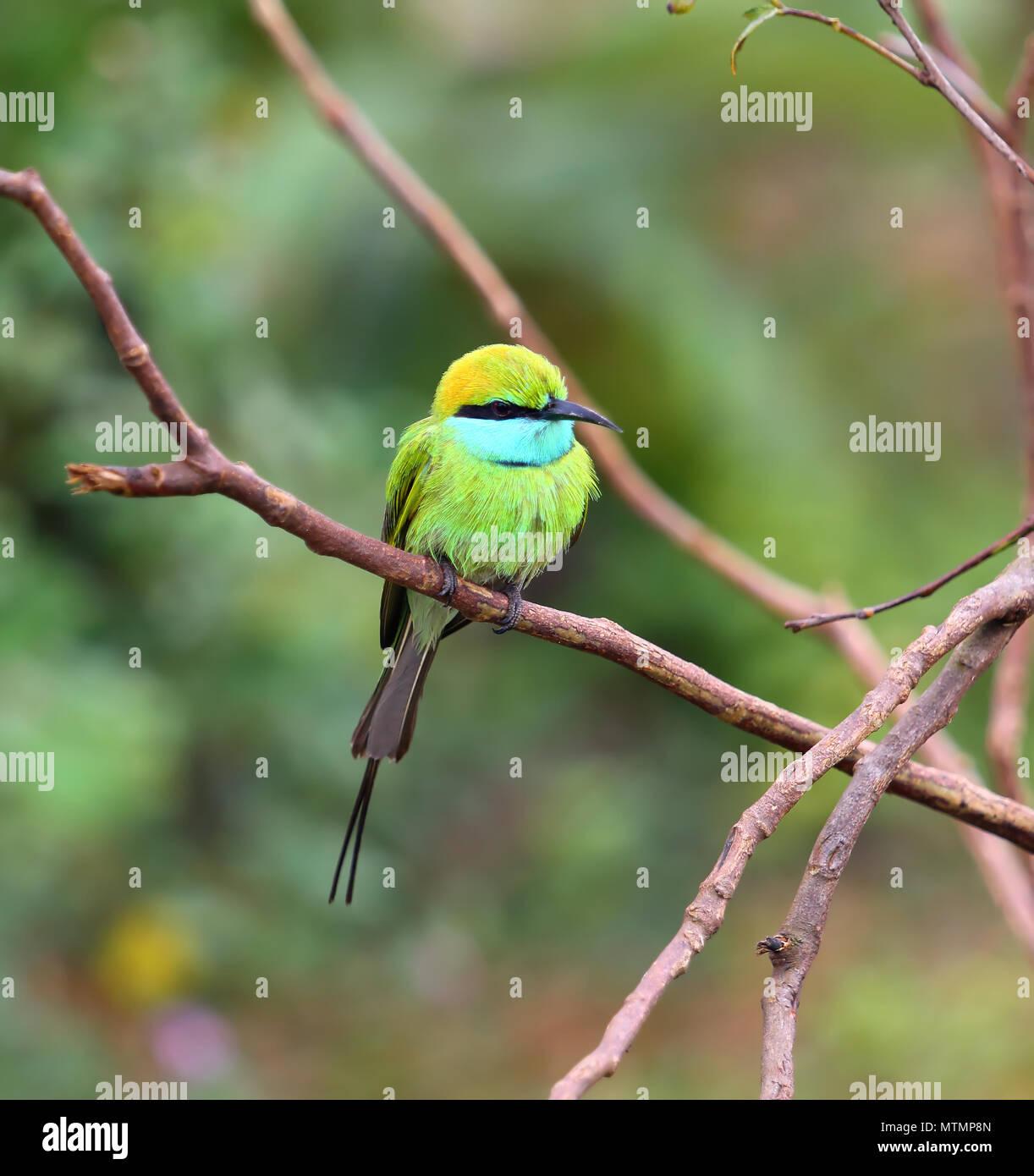 Green Bee-eater bird on branch Stock Photo