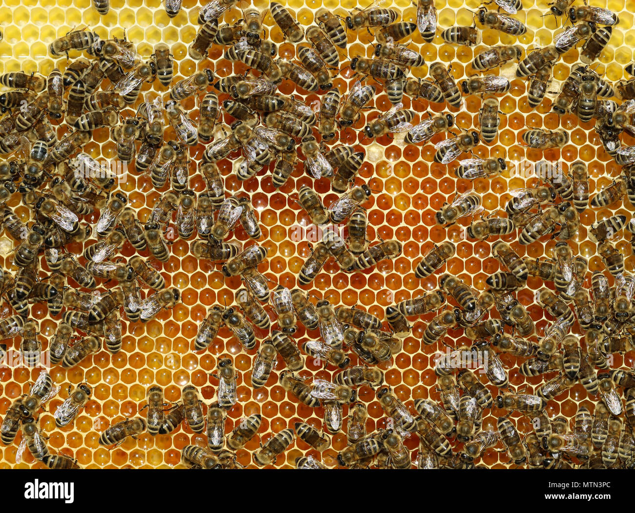 Top view of working bees on a honeycomb - Stock Image