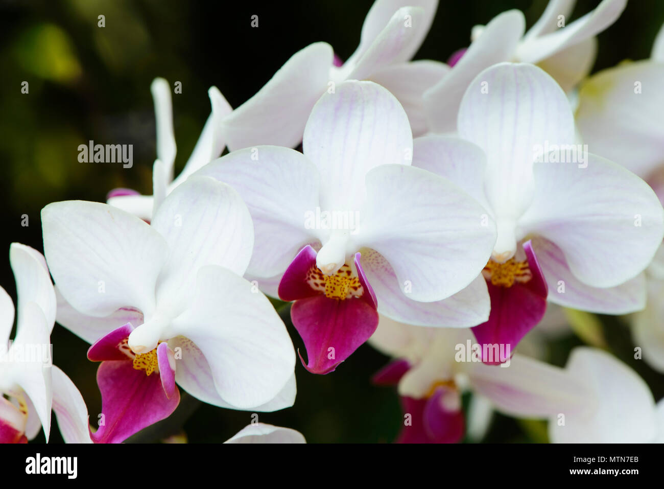 White Orchids Flowers In Bloom Stock Photo 187322307 Alamy