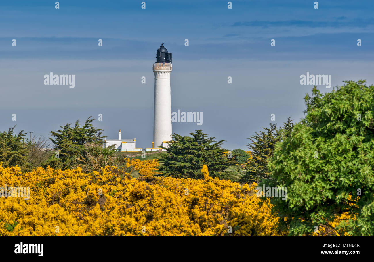 COVESEA LIGHTHOUSE LOSSIEMOUTH BEACH SCOTLAND WHITE COLUMN AND HOUSE SURROUNDED BY YELLOW GORSE FLOWERS IN EARLY SPRING - Stock Image