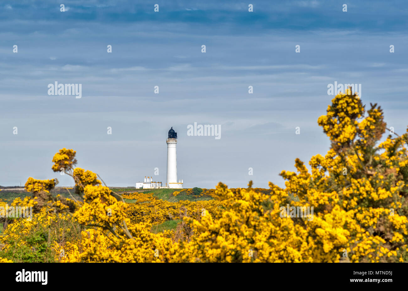 COVESEA LIGHTHOUSE LOSSIEMOUTH BEACH SCOTLAND WHITE COLUMN AND HOUSES SURROUNDED BY YELLOW GORSE FLOWERS IN SPRING - Stock Image