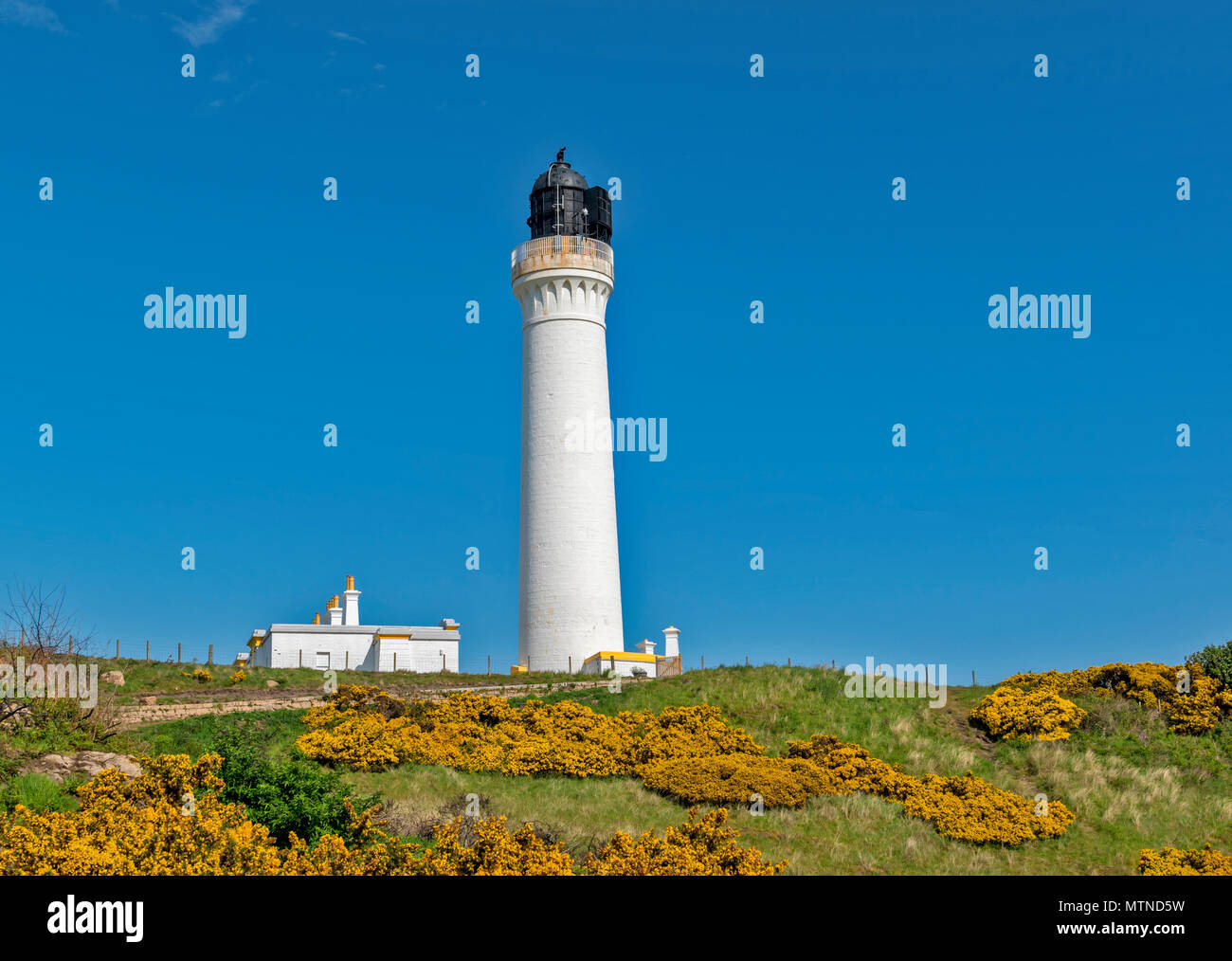 COVESEA LIGHTHOUSE LOSSIEMOUTH BEACH SCOTLAND WHITE COLUMN ON A HILL SURROUNDED BY YELLOW GORSE FLOWERS  AN EARLY MORNING IN SPRING WITH A BLUE SKY - Stock Image
