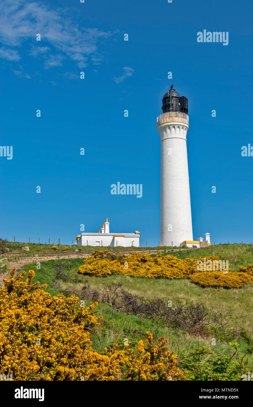 COVESEA LIGHTHOUSE LOSSIEMOUTH BEACH SCOTLAND WHITE COLUMN ON A HILL SURROUNDED BY YELLOW GORSE FLOWERS  AN EARLY MORNING IN SPRING WITH BLUE SKY - Stock Image