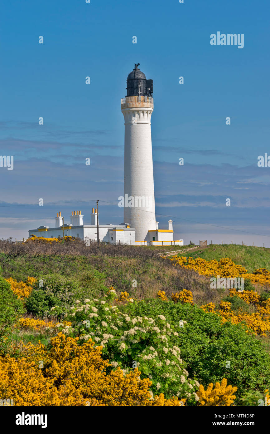 COVESEA LIGHTHOUSE LOSSIEMOUTH BEACH SCOTLAND WHITE COLUMN ON A HILL SURROUNDED BY YELLOW GORSE FLOWERS  EARLY MORNING IN SPRING - Stock Image