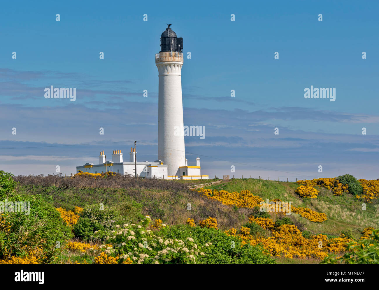 COVESEA LIGHTHOUSE LOSSIEMOUTH BEACH SCOTLAND WHITE COLUMN ON A HILL SURROUNDED BY YELLOW GORSE FLOWERS  EARLY SPRINGTIME - Stock Image
