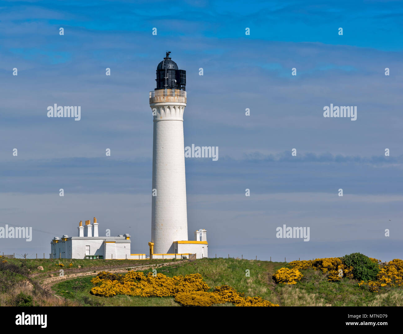 COVESEA LIGHTHOUSE LOSSIEMOUTH BEACH SCOTLAND WHITE COLUMN ON A HILL SURROUNDED BY YELLOW GORSE FLOWERS IN EARLY SPRING - Stock Image