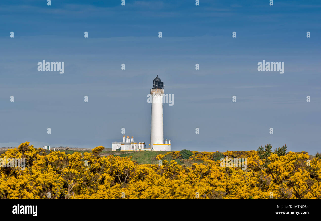 COVESEA LIGHTHOUSE LOSSIEMOUTH BEACH SCOTLAND WHITE COLUMN SURROUNDED BY YELLOW GORSE FLOWERS IN SPRING - Stock Image