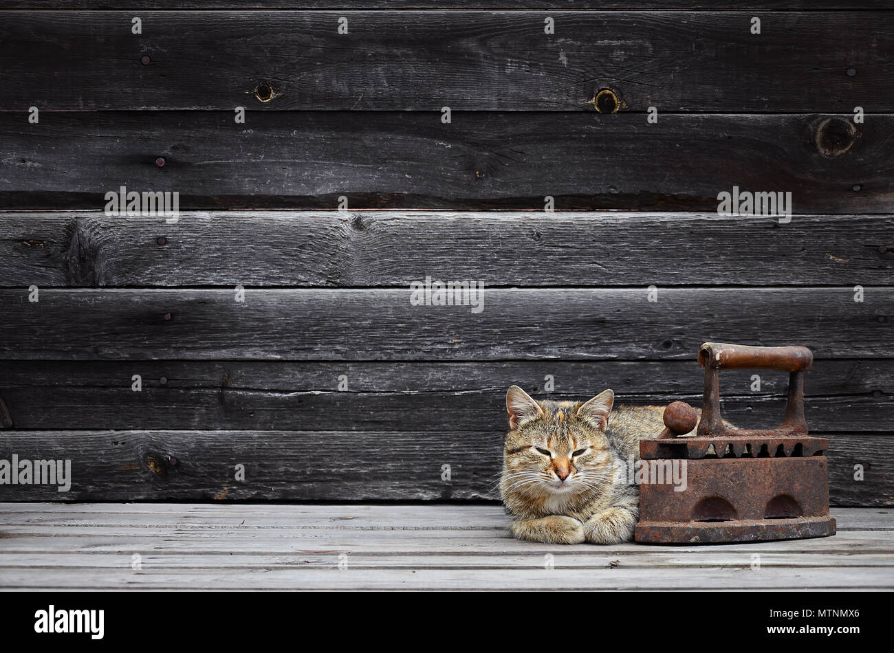 A multi-colored thick cat is located next to a heavy and rusty old coal iron on a wooden surface against a wall of black horizontal wooden boards. Obs Stock Photo