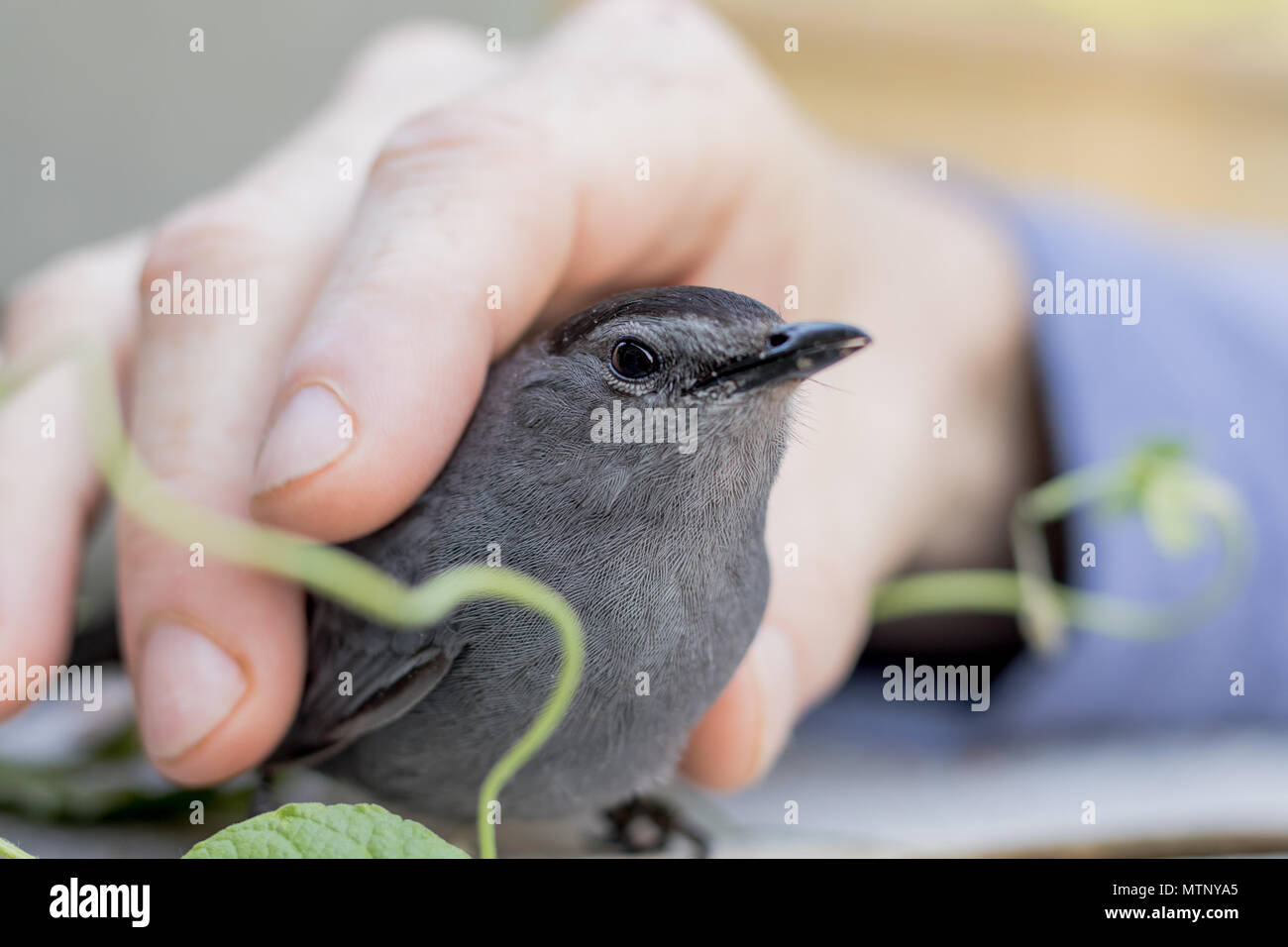 Gray Catbird (Dumetella carolinensis) allows petting after being rescued from a collision - Stock Image