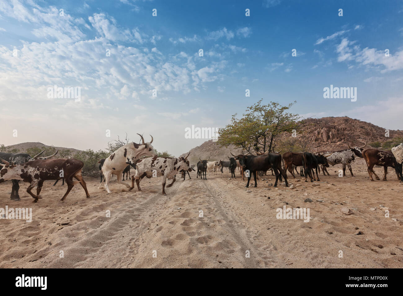 Cows and wild bull grazing in a remote area of the Cunene. Angola. Africa. - Stock Image