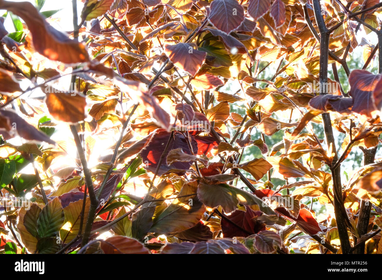close up of copper coloured leaves and branches of a copper beach hedge, back light from the summer sun forming dapple light on the leaves, the colors - Stock Image