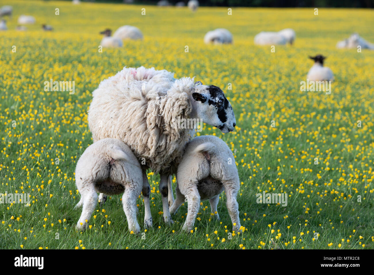 Lambs feeding in Buttercup field, Broadway, Cotswolds AONB, Worcestershire, England, United Kingdom, Europe - Stock Image