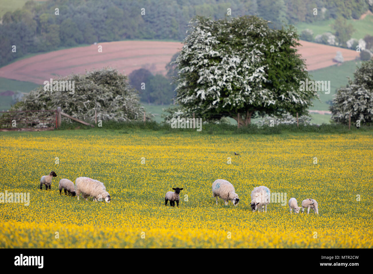 Sheep and lambs grazing in Buttercup field, Broadway, Cotswolds AONB, Worcestershire, England, United Kingdom, Europe - Stock Image