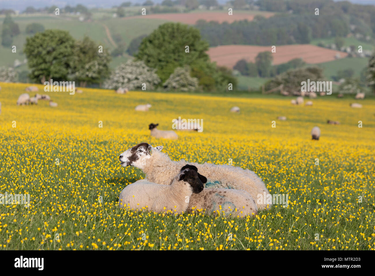 Sheep and lambs lying down in Buttercup field, Broadway, Cotswolds AONB, Worcestershire, England, United Kingdom, Europe - Stock Image