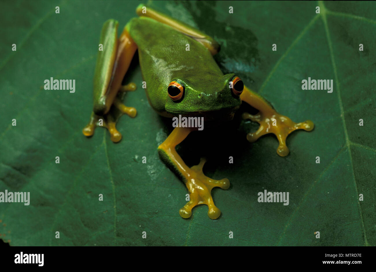 GREEN TREE FROG (LITORIA) ON A LEAF IN THE DAINTREE RAINFOREST AREA, QLD, AUSTRALIA - Stock Image