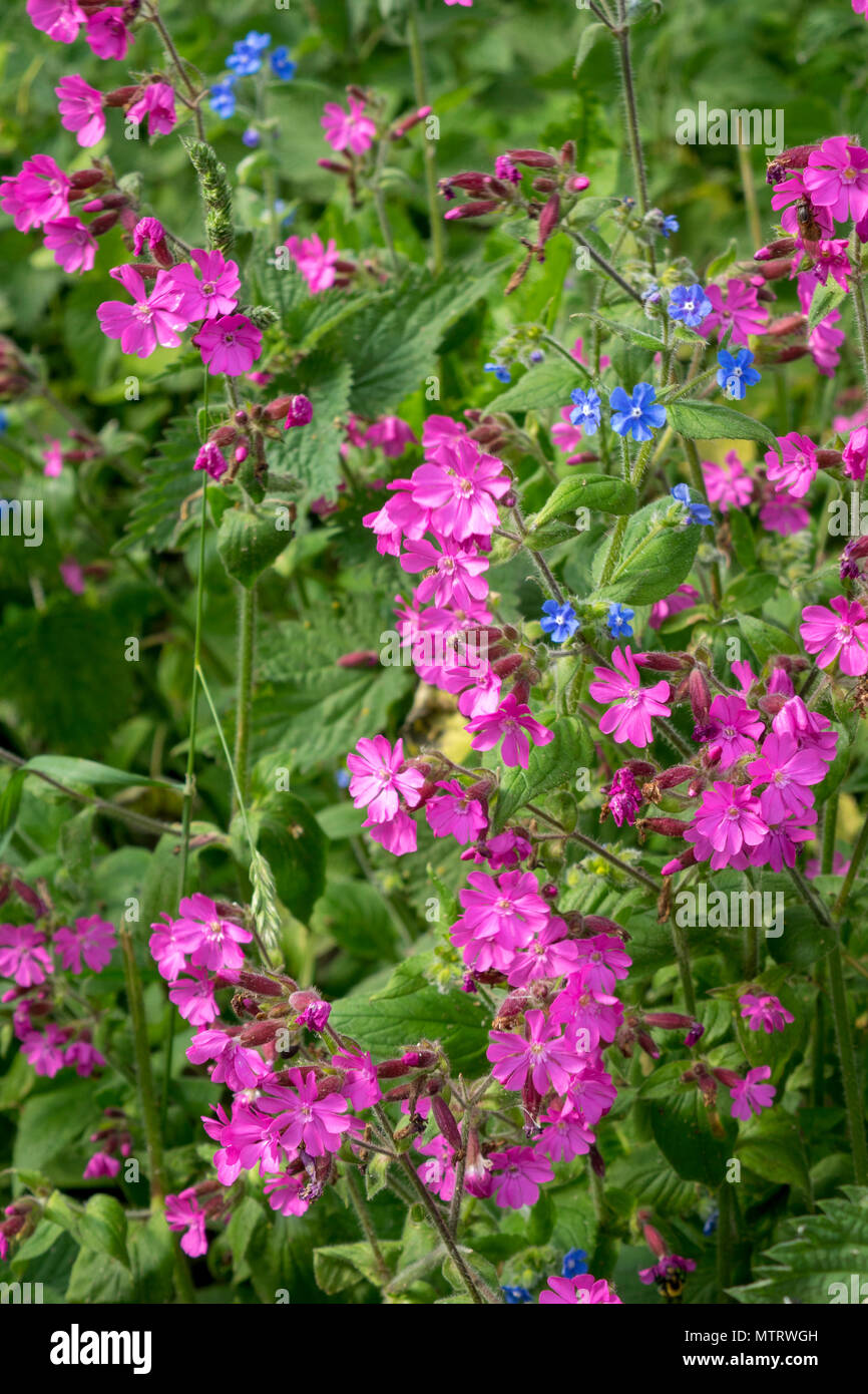 Red campion Silene dioica Stock Photo