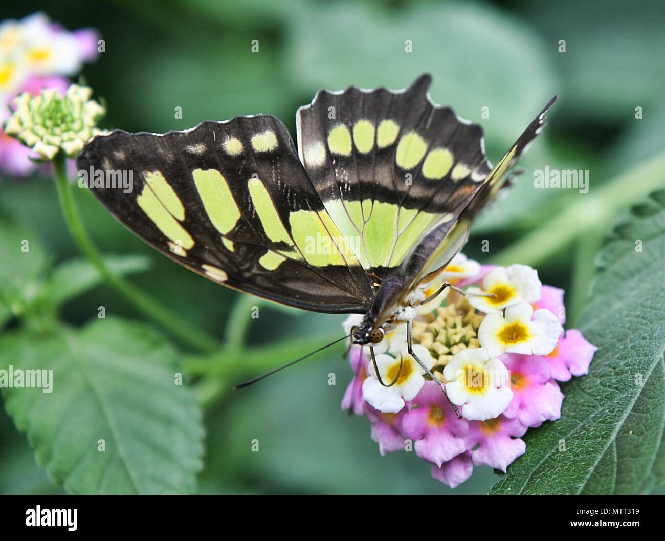 The Malachite Siproeta Stelenes Butterfly - Stock Image
