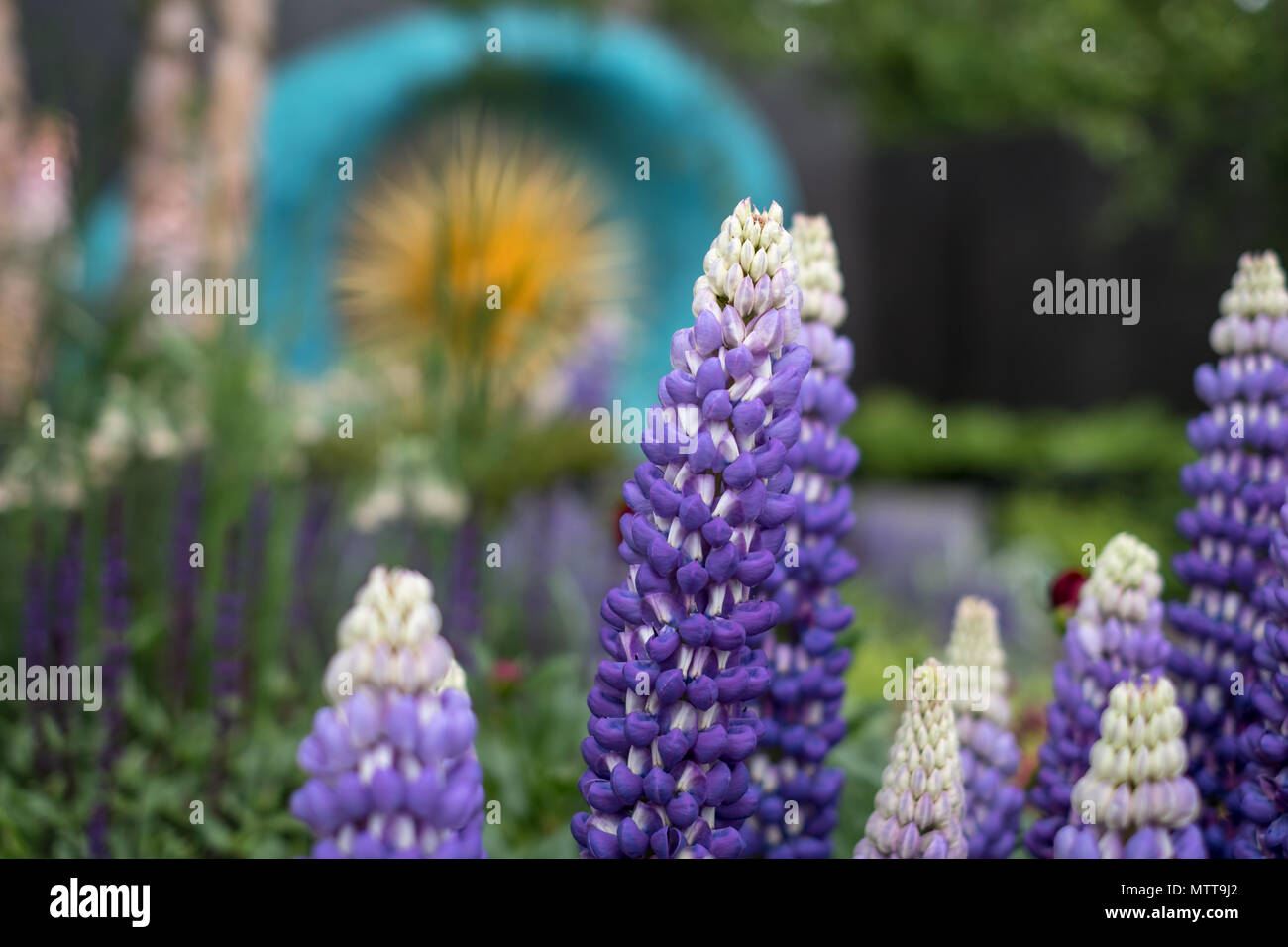London UK,2018. Stunning purple, blue lupins in foreground at award winning garden at Chelsea Flower Show, hosted by the Royal Horticultural Society. - Stock Image
