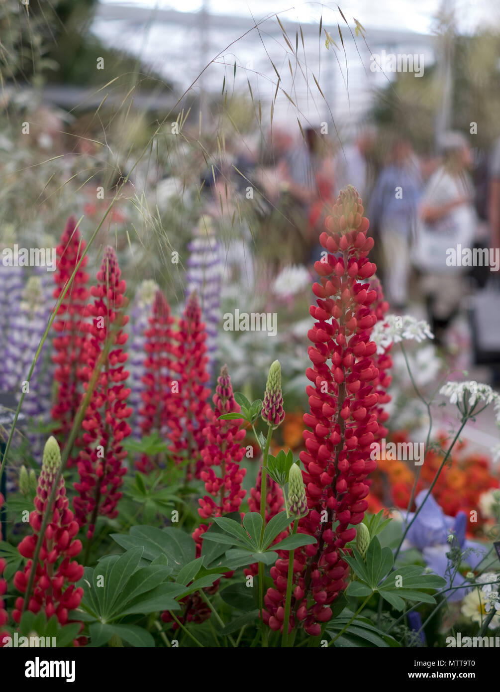 London UK, 2018. Stunning red lupins in foreground at Chelsea Flower Show hosted by the Royal Horticultural Society. Visitors blurred in background. - Stock Image