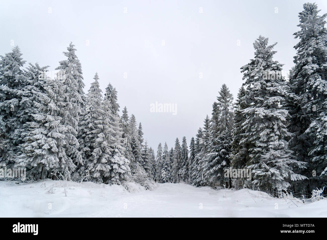Snowbound spruces in the Carpathian Mountains, Ukraine - Stock Image