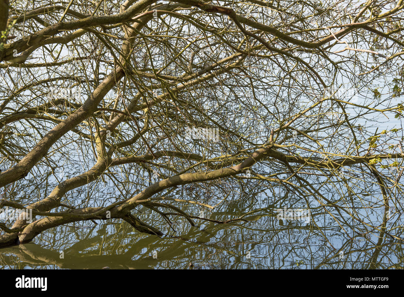 A mass of leafless branches with their reflections in the water of a lake. - Stock Image